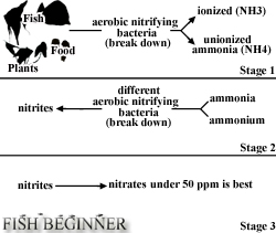 Aquarium Nitrogen Cycle FAQ, Stages