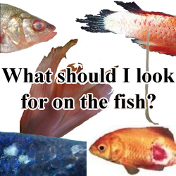 My fish are sick, symptoms