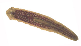Planaria in Aquarium, treatment